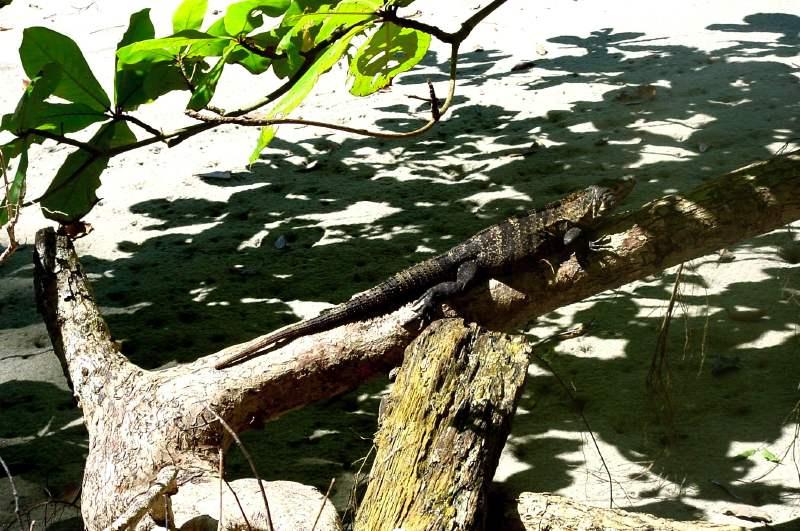 L'Iguane du parc Manuel Antonio