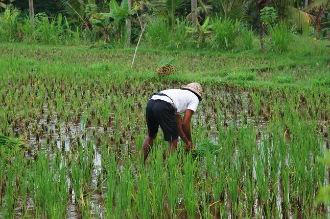 Travail en rizières 2
