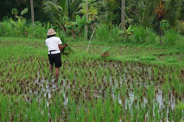 Travail en rizières 1
