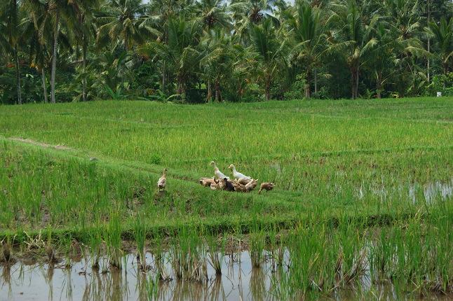 Les canards dans la rizière.