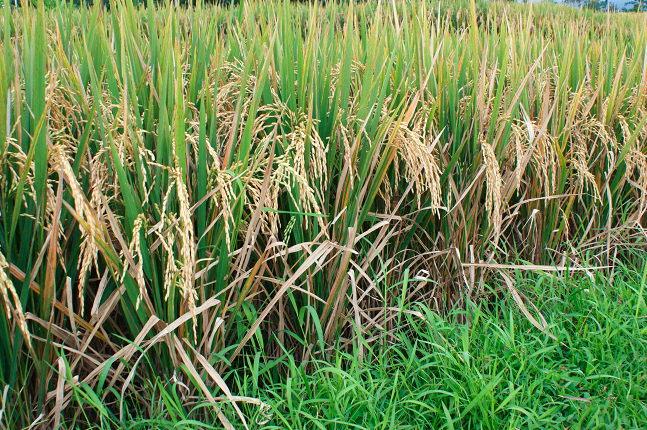 Riz proche de la récolte