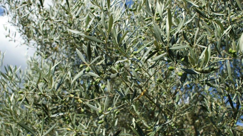 Olives en juillet