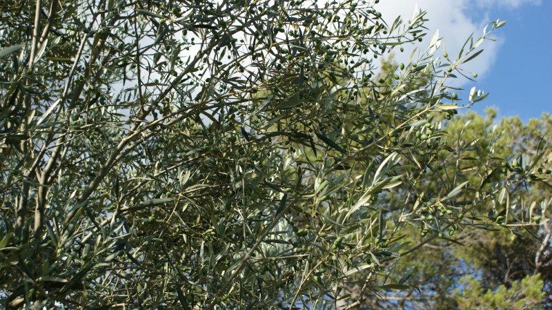 Encore des olives!