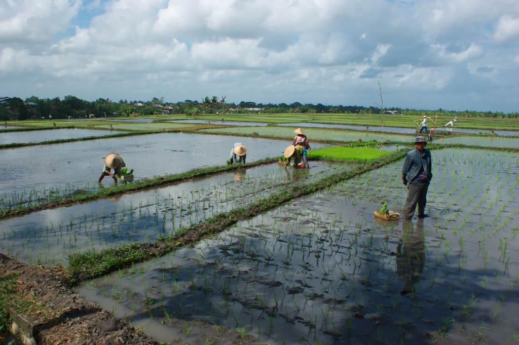 Planteurs de riz