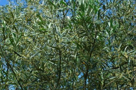 La floraison de l'olivier