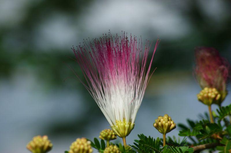 Fleur inconnue, Manggis