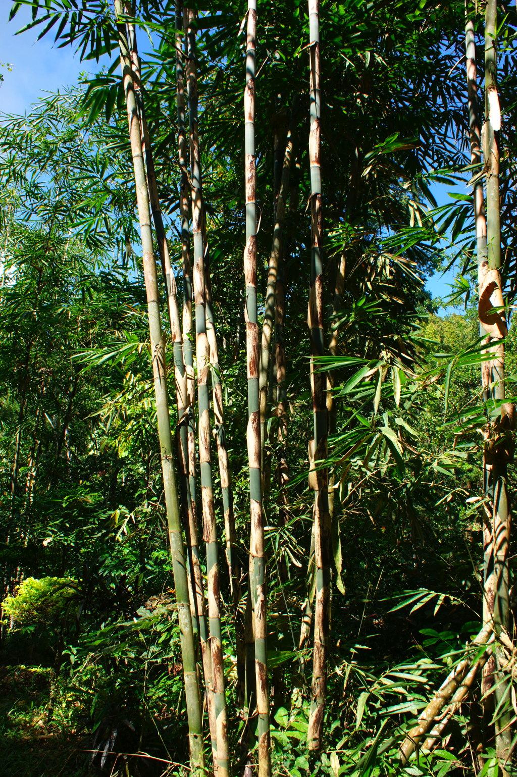 Bambous sur le chemin des chutes de Gitgit