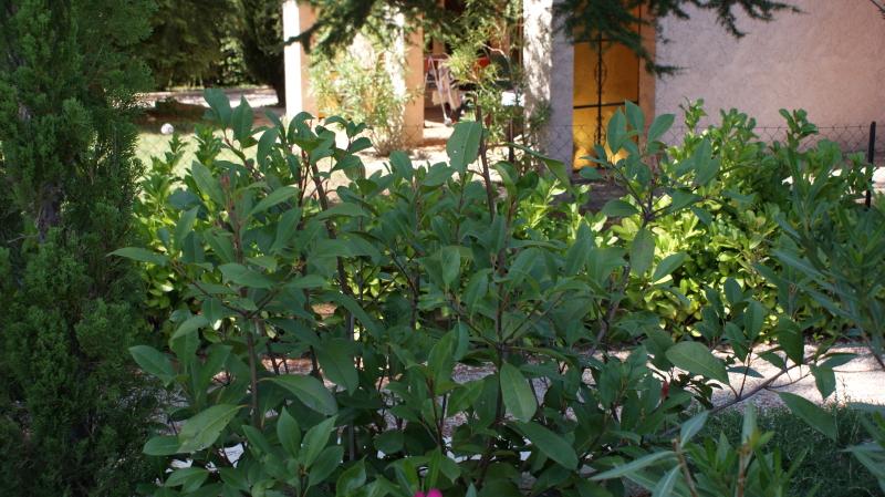 Photinia taillé