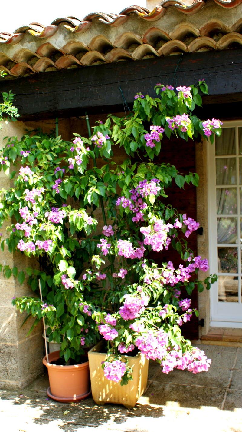 Bougainvillée Glabra en fleurs