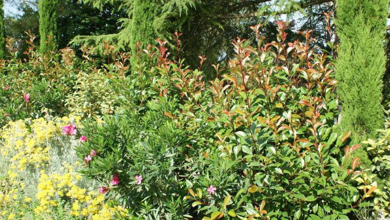 Photinia en juin 2