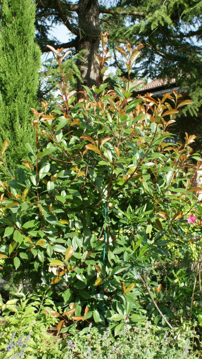 Photinia en juin 4