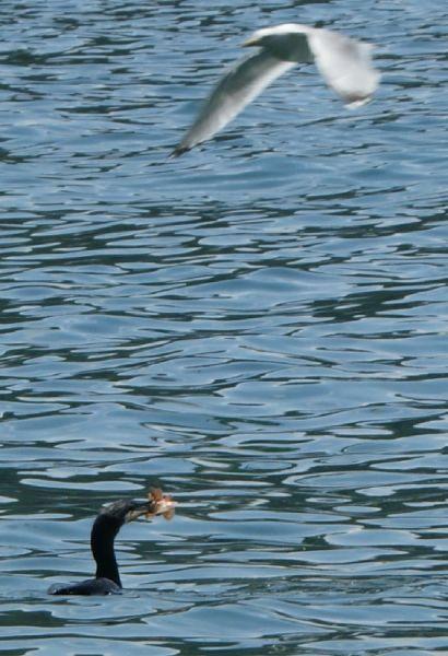 cormoran2.jpg