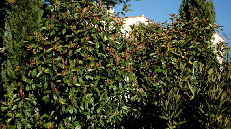 photinias20111.jpg